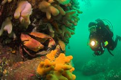 Diver discovers massive edible crab. 